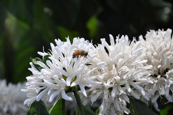 mật ong nguyên chất tại rừng cà phê