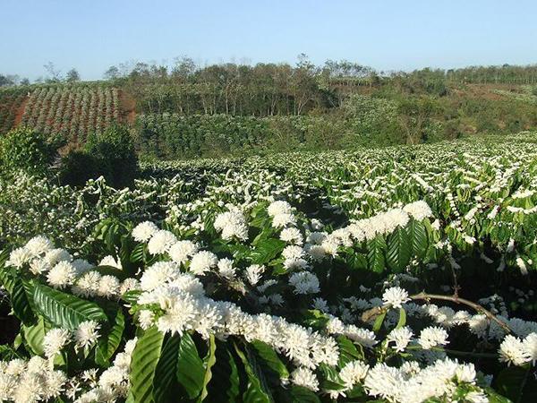 mật ong nguyên chất hoa cà phê